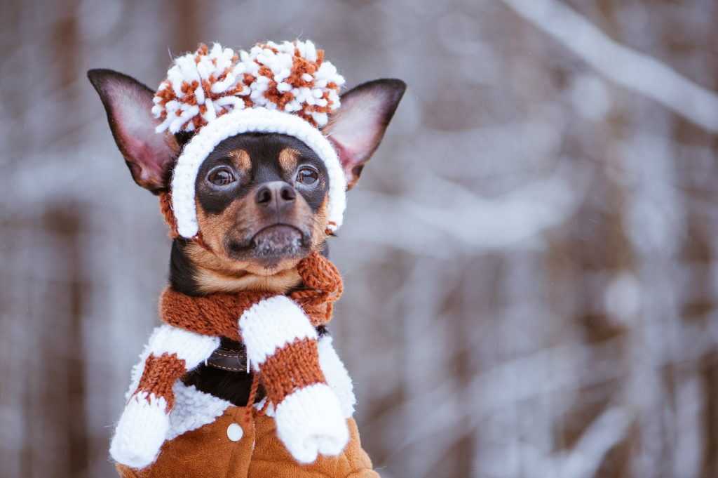 Dog in the winter with a hat, scarf and coat on.
